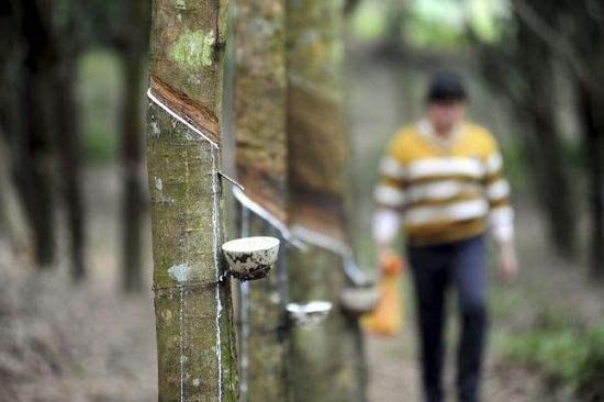 缅甸橡胶产量及出口量急速增长