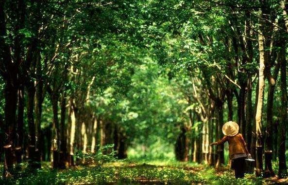 柬埔寨上半年生胶出口量同比增长24%