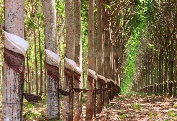 泰国政府拟启动242亿橡胶差价补贴计划